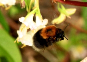 Tree Bumblebee Queen sets off for another flower