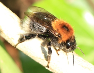 A queen Tree Bumblebee in the garden today