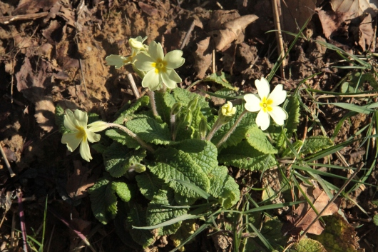 Thrum-eyed Primroses have visible cluster of pollen-bearing anthers at their centre.