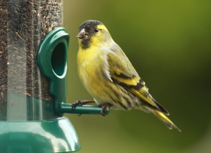 Male Siskin, with its yellow markings and black bib and cap