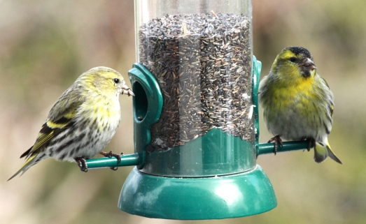 Male and female Siskins at the feeder