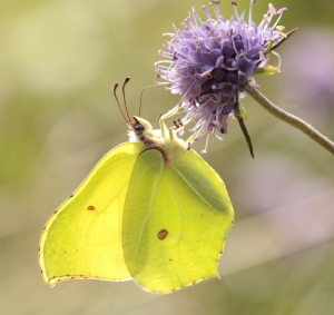 A male (the females are a paler greenish colour) Brimstone flew through today but didn't land so this is a photo from last summer.