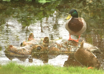 Back come the Mallards to clean out the spawn once again