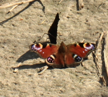A male and female Peacock Butterfly displaying