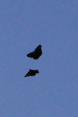 Wen the rival male entered the territory they flew in a rapid upward spiral together