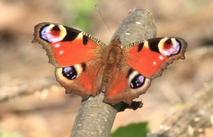 This male Peacock displayed on several ground-perches near some nettles in the garden
