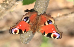 The Peacock Butterfly upside down - the eyes and appearance of a beak scares off predators