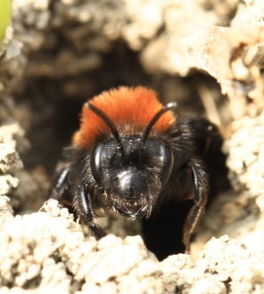 A female adult visits the nest- you can see why it is called 'Tawny Mining Bee'