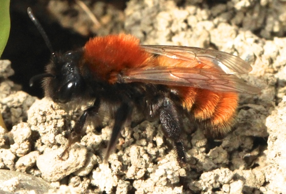 This beautiful small bee is harmless and helpful in pollinating fruit trees and bushes