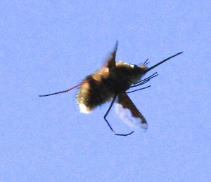 This Bee-Fly , with it's long proboscis and legs, and distinctive attaining on its wings, hovering about 3 metres off the ground