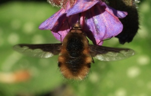 A Bee-Fly, with its distinctive wing-markings hovering while feeding from Pulmonary