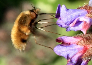 The very furry body and extraordinarily long legs and proboscis of the Bee-Fly