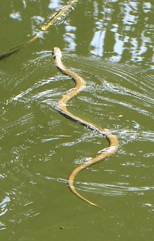 As well as liking to be by water, Grass Snakes eat a lot of Frogs and Toads, as well as small birds and mammals.