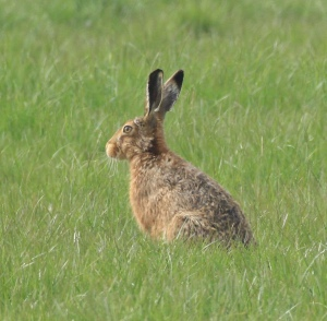 This shows the black-tipped ears and yellow-flecked fur of Brown Hares