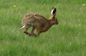Hares have much longer legs than rabbits and are considerably larger