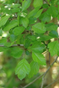 The Midland Hawthorn has much smoother-edged leaves than the Common Hawthorn