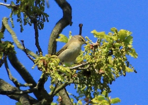 Chiffchaff were calling through the wood