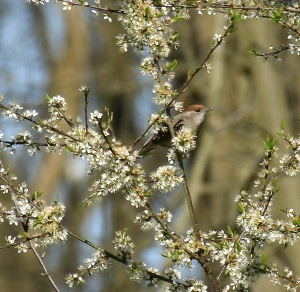 Several Blackcaps were singing their beautiful song- here's a female in the Blackthorn blossom