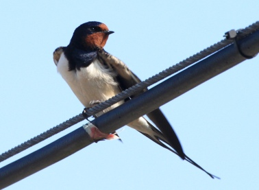 First Swallows of the year