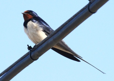 The long tail streamers are one of the main identifying features of the Swallow