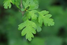 The leaves of Common Hawthorn