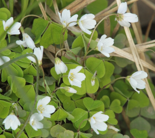 Wood Sorrel often grows in hummocks with moss