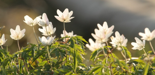 Carpets of Wood Anemones