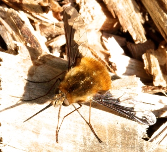 A Bee Fly, widespread in spring
