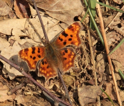 A Comma Butterfly, one of the few Butterflies that hibernate as adults