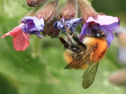 Carder Bees move particularly rapidly from flower to flower.