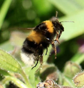 A Queen White-tailed Bumblebee homing in on a flower in the garden