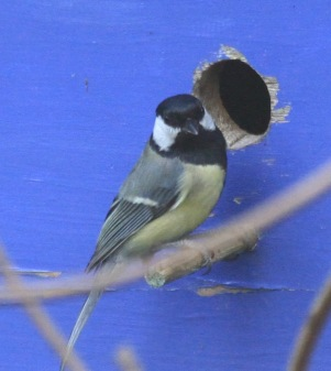 Great Tit on the occupied bird-box