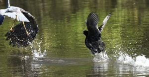 The Coot chases the young Heron away from its nest