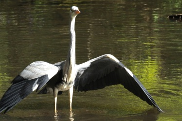 Here's why- the dominant adult Heron usurps its feeding patch