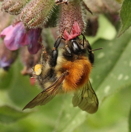 Common Carder Bee feeding on one of its favourite plants in our garden- the Pulmonaria
