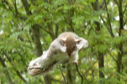 Finally it flung itself across a 3 metre gap in an attempt to reach the hanging feeders! (Very blurred, I was too astonished to capture it well!