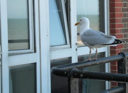 The daily Herring Gull looking in through mum's window