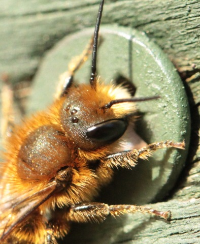 The Bee is only about 1 cm in length, as can be seen from this small screw-head