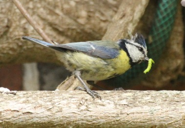 As the young are quite mature, they are also being fed fat from a nearby feeder, and other invertebrates.