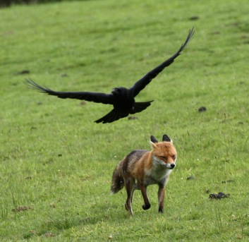 Vixen, mobbed by Crow