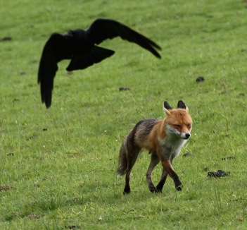 Fox takes little notice of the mobbing Crow