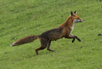 The Vixen, still in milk for her cubs, caught my scent and galloped off up the field