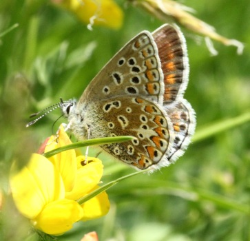 This female just shows the brown upper wing of female Common Blues