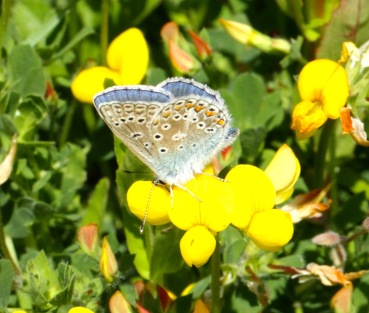 Male Common Blues have a similar underwing pattern to females- great camouflage