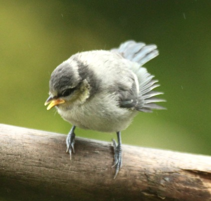 Fledgling Blue Tit which had just fed itself but still called and fluttered its wings to stimulate the adult to feed it.