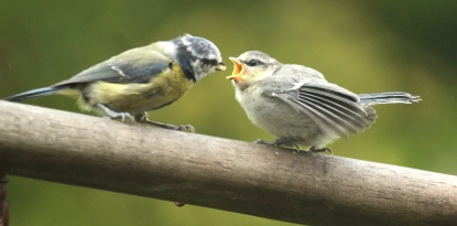 The young bird is fed fat from the feeder