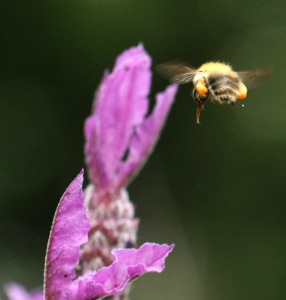 The Carder Bee, laden with pollen, flies through the Lavender bush