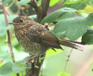 Young fledgling Robin