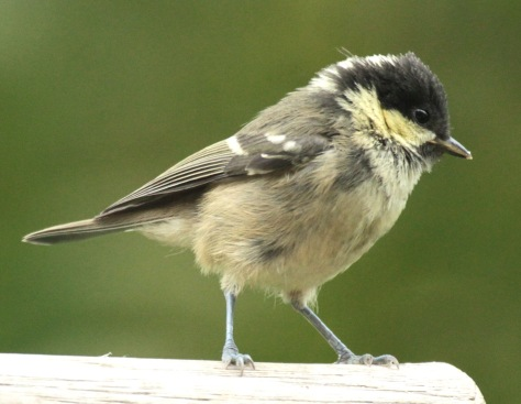 Young Coal Tit, showing the yellowish cheeks and underparts