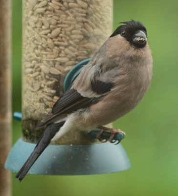 Adult female Bullfinch